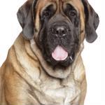 Chinese breeder sells Tibetan mastiff puppy for $2 million