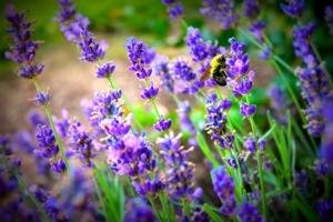 Frances lavender fields are among its best natural attractions