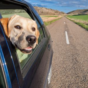 Researchers indicate that drivers would be safer not to operate their vehicles with dogs in them.