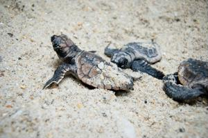 Seeing turtle hatchlings scuttle through the beach sand is a moving experience, and an unbeatable sight for nature lovers. There are few places better than Turtle Islands National Park for seeing the exciting event.