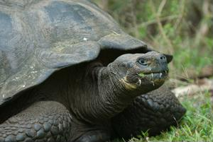 The Galapagos tortoise is just one of the islands' famous residents