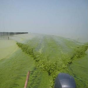 U.S. could be prime growing area for fuel-creating pond scum