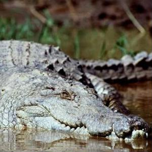 Guiness World Records proclaim Philippine crocodile largest in the world