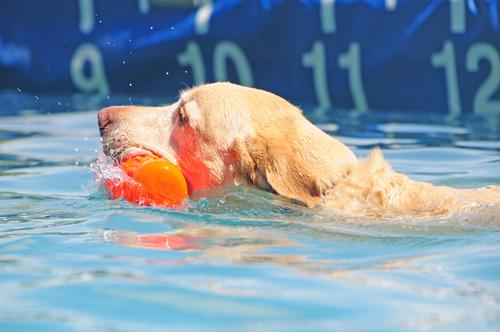 Pool safety tips that can keep your dog in tip-top shape this summer