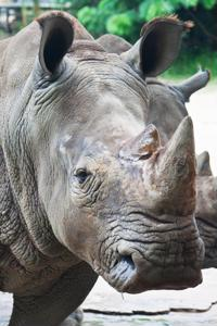 Rhino poaching continues in South Africa despite efforts to stop it