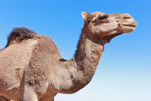 Ride a camel at the Milwaukee County Zoo