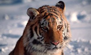 Russian hunter charged for poaching a tiger