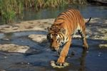 Tiger Temple in Thailand under scrutiny - Bangkok Travel News