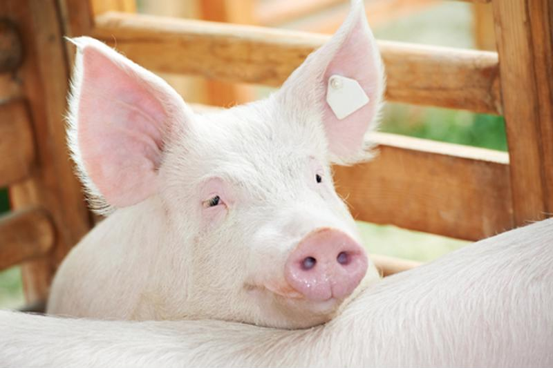 Most young farmers own pig farms, though the percentage is down from where it used to be.