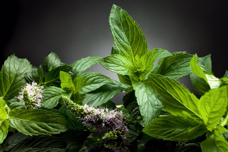 Peppermint does more than freshen your breath.