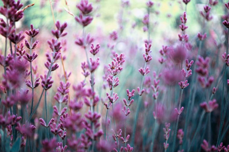 Lavender is great for spicing up a bouquet as well as a salad or cocktail.