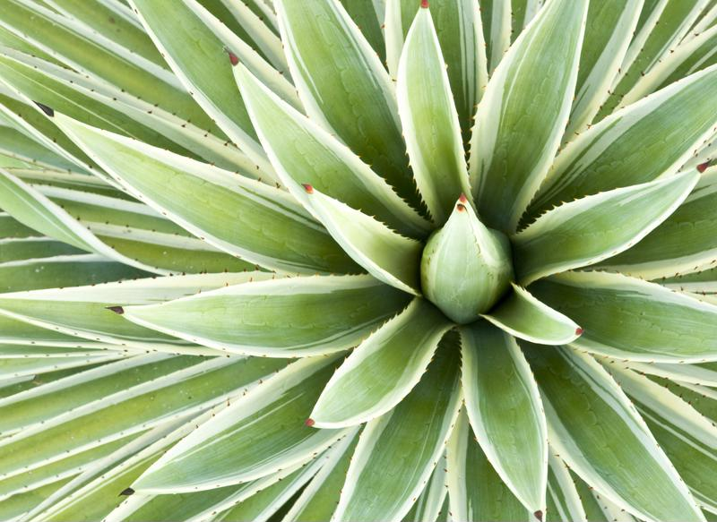 Tequila comes from the blue agave plant.