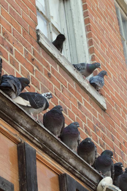 Pest birds can build nests in areas that damage your building.