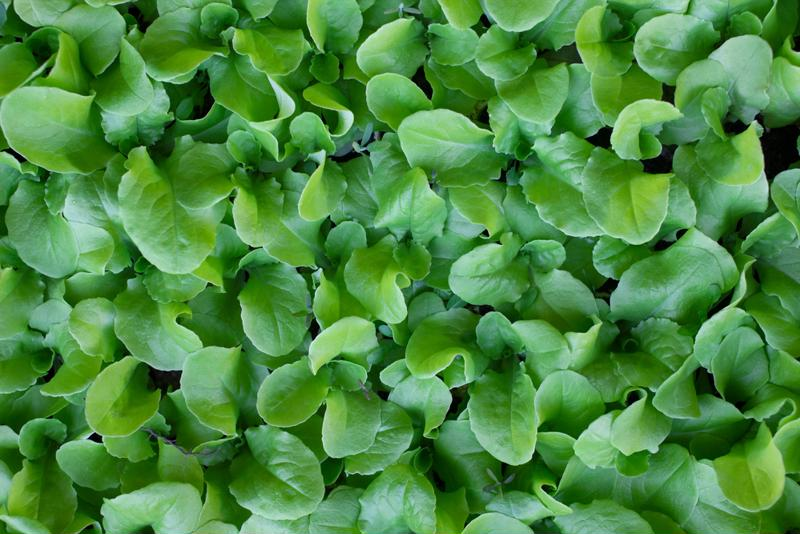 Try growing baby lettuce in your home garden.