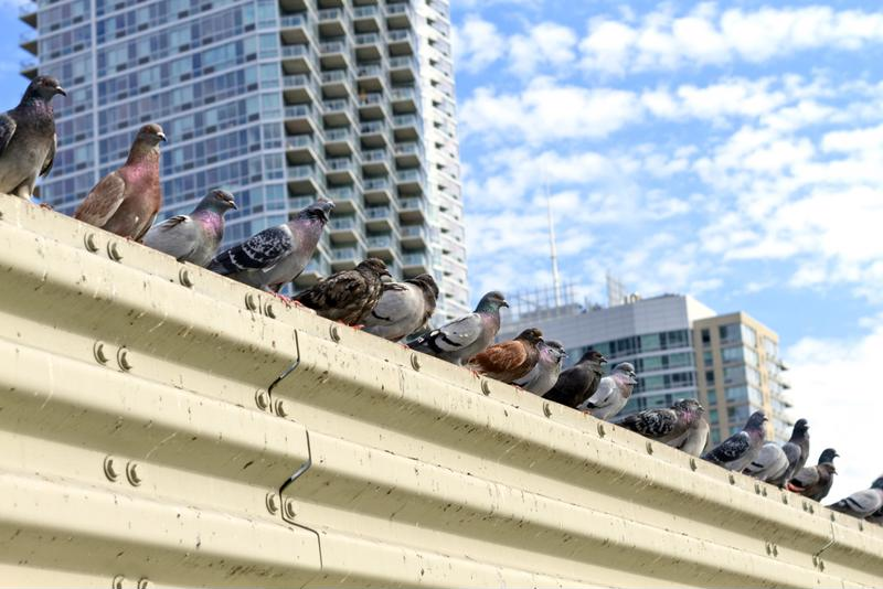Pigeons are more than just nuisance for commercial properties.