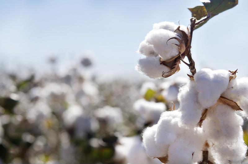There's massive potential hidden in these cotton bolls.