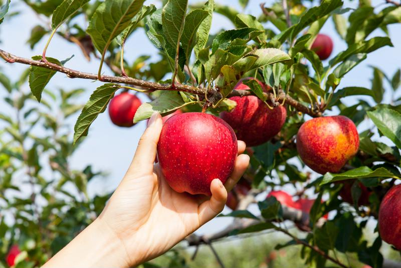 Apples are an excellent low calorie snack or side dish.