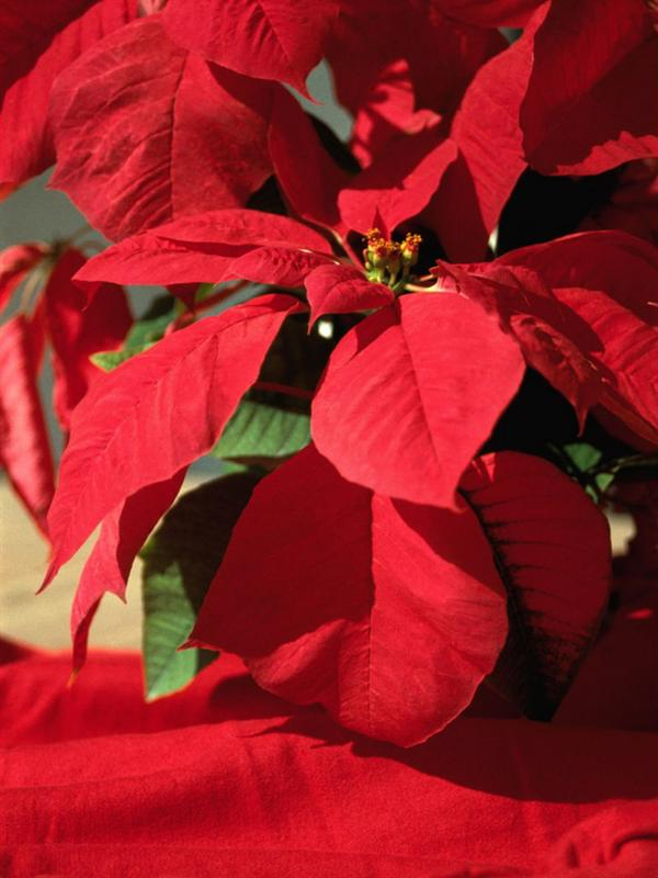 Decorate your home with beautiful poinsettias during the holiday.