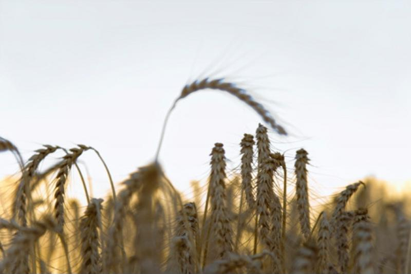 Wheat is one of the crops covered under Ontario's production insurance program.