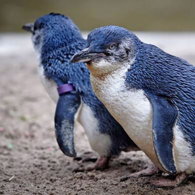 Australia's oldest man knits sweaters to save penguins