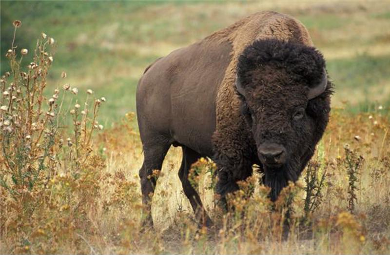 One of the continent's largest animals, a bison encounter could be dangerous.