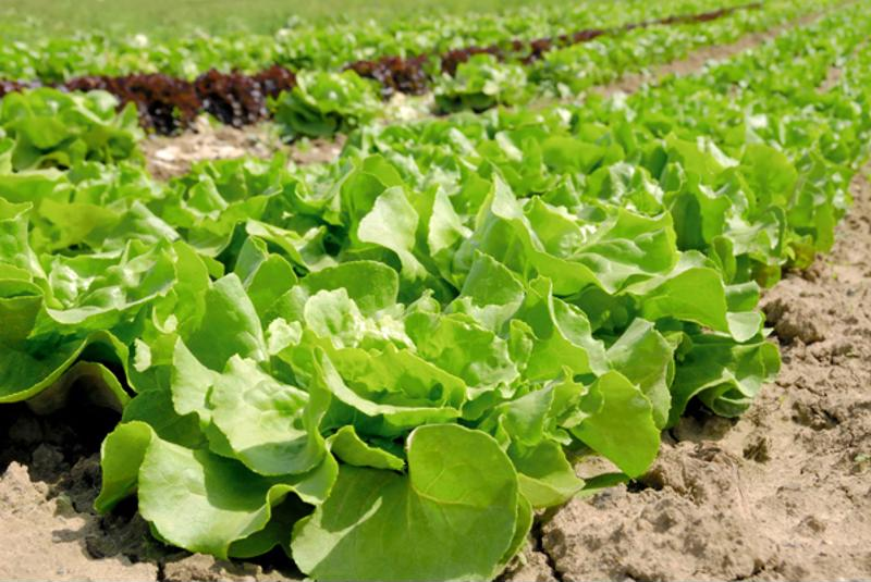 Hard to clean produce that's eaten raw, such as lettuce, is considered a risk.