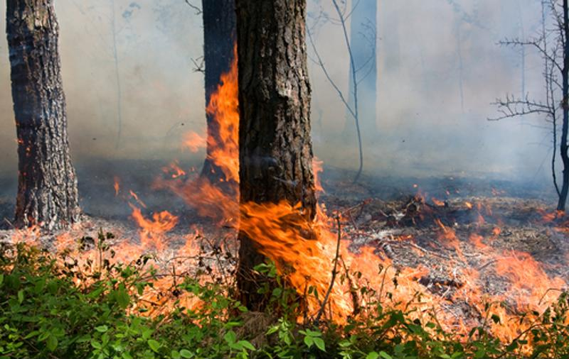 Wildfire burns down a tree in a forest.