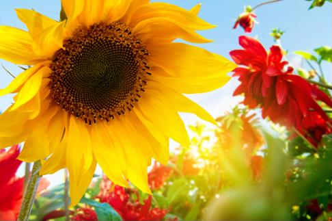 The bright hue of the sunflower makes it a cheery Mother's Day gift.