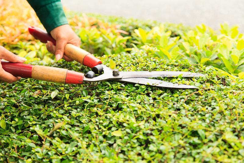 Hand cuts green bush with scissors.