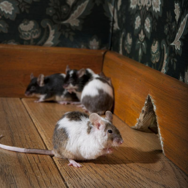 Rodents inside your home are a clue that your insulation may need to be replaced.
