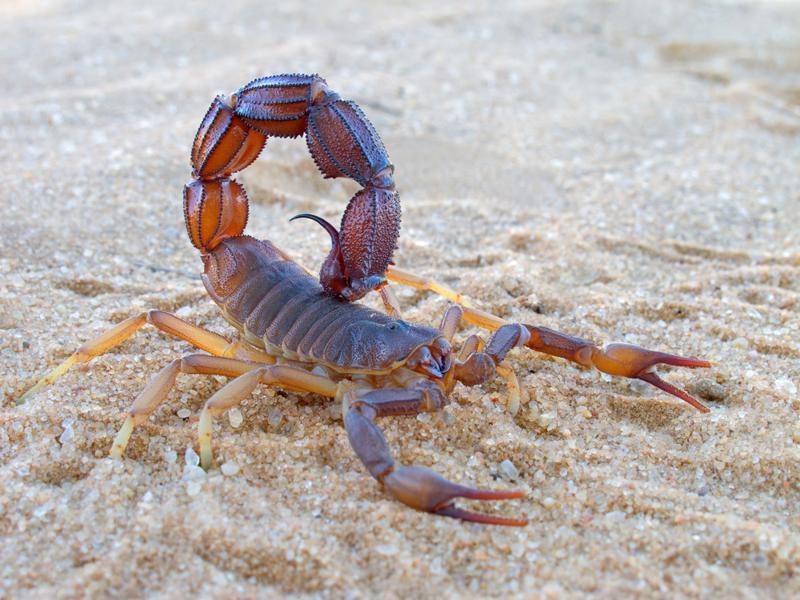 Scorpion on the sand.