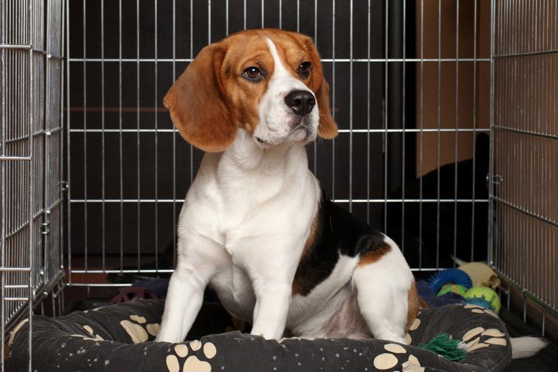 Beagle sitting in kennel.