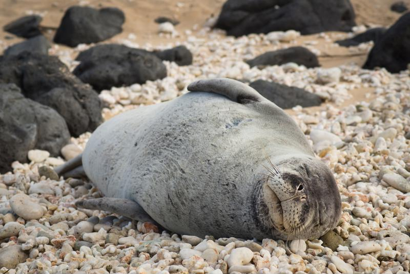 If you see any endangered creatures, like monk seals, in the wild, be sure to keep your distance.