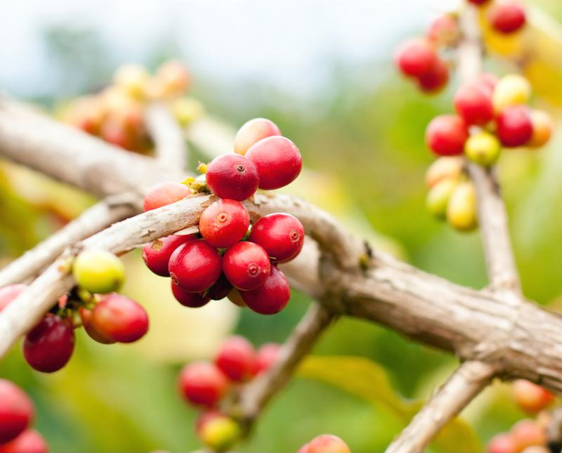 coffee plant, coffee cherry, coffee processing, Mr. Coffee