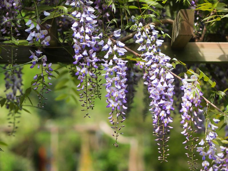 Pergola with wisteria plant.