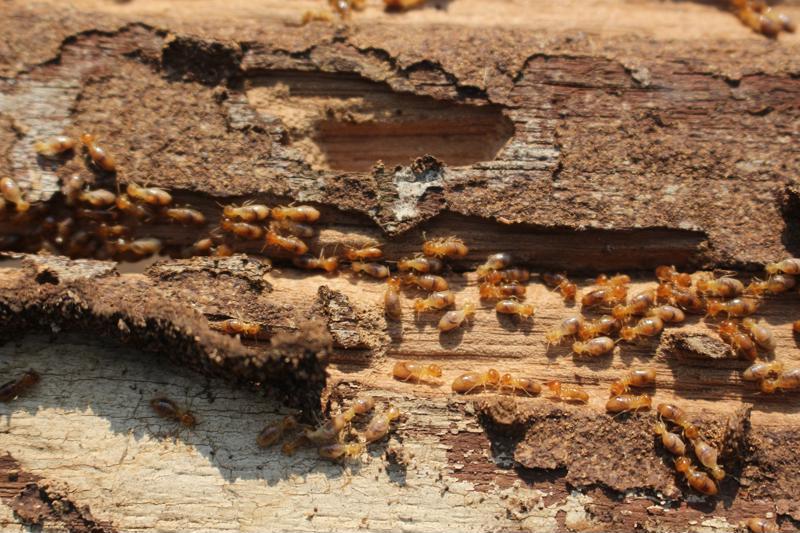 termites crawling through damaged wood
