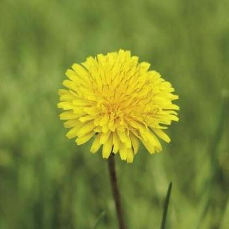 Dandelions are easy to find and make for a good trail snack.